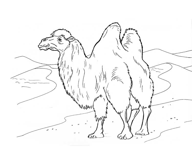 Раскраска верблюд в пустыне