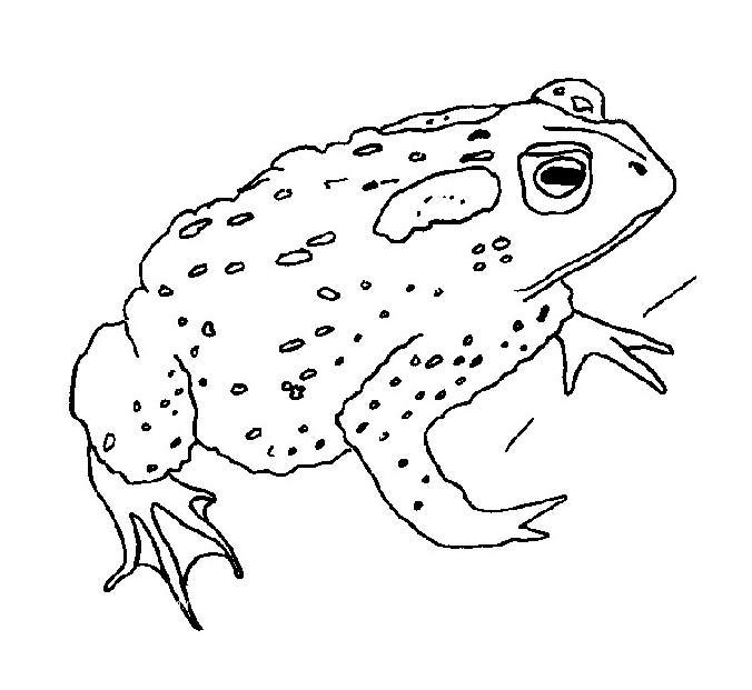 Картинка жабы раскраска