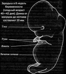 8 неделя беременности