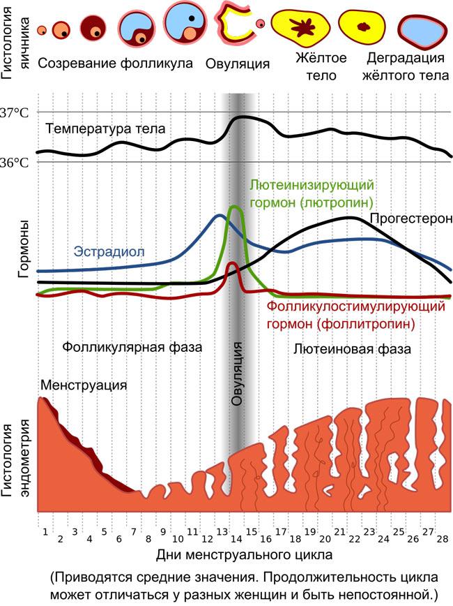 Длительность менструального цикла в среднем равна